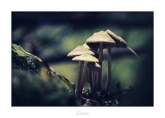 Famille chapeaux (Darksides photographie 21) Tags: champignon champignons nature proxy proxiphotographie proxi