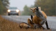 The Luxury of Leisure (jakegurnsey) Tags: fox wildlife sony canada ontario gm 100400mm f4556 sunlight fall animal nature orange