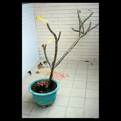 _DSC7032 (leeyu_flickr) Tags: 植栽 雞蛋花 緬梔 移植 換盆