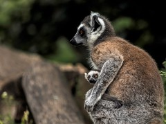 Kattas .....groß und klein (Fritz Zachow) Tags: katta affe primaten tier säugetier tierpark thüle