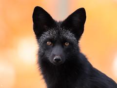''Yeux d'automne!'' Renard argenté-Fox (pascaleforest) Tags: automne passion canada quebec faune wildlife wild nikon nature animal