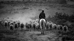 Country Style (AndreDiener (ALDPhoto)) Tags: westcoast horse horseback shepherd sheep flock