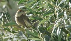 Fauvette à tête noire (claude dequidt) Tags: fauvetteàtêtenoire olivier olives oiseaux