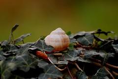 Schneckenhaus 64 (fotomänni) Tags: schneckenhaus snail vineyardsnail schnecke weinbergschnecke stilleben stillife natur naturfotografie nature naturephotography natureshots naturimpressionen naturephotograps manfredweis