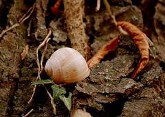 Schneckenhaus 68 (fotomänni) Tags: schneckenhaus snail vineyardsnail schnecke weinbergschnecke stilleben stillife natur naturfotografie nature naturephotography natureshots naturimpressionen naturephotograps manfredweis