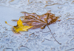 Real Wet Leave,s. (Omygodtom) Tags: water table raindrop waterdrops scene street weather weired macro d7100