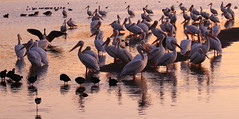 The pelicans on the pond (Robin Wechsler) Tags: pelicans birds migration wildlife water pond wings animals
