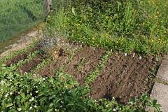 My garden (LII) (dididumm) Tags: garden seventhyear spring prepared growing green vegetables strawberries forgetmenot vergissmeinnicht erdbeeren gemüse grün wachsen vorbereitet frühling siebtesjahr garten