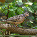 Spotted Dove (Spilopelia chinensis)