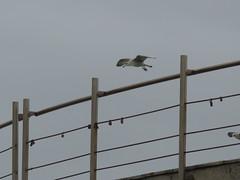 IMG_8742 (jesust793) Tags: gaviotas gulls seagulls milenio pájaros birds