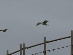 IMG_8744 (jesust793) Tags: gaviotas gulls seagulls milenio pájaros birds