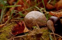 Schneckenhaus 60 (fotomänni) Tags: schneckenhaus snail vineyardsnail schnecke weinbergschnecke stilleben stillife natur naturfotografie nature naturephotography natureshots naturimpressionen naturephotograps manfredweis