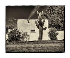 saguaro (mikerosebery) Tags: mesilla newmexico nm saguaro cactus adobe