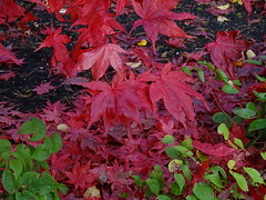 """Acer """"Amber Ghost"""" (Kniphofia) Tags: acer amberghost rhsharlowcarr maple leaves autumn"""