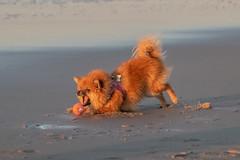 _MG_0374 (Iris Harm Fotografie) Tags: iris hond harm dog bird beach dogs birds graffiti fotografie den denhaag haag buiten honden grieksegod irisharmfotografienl sea sun water strand photography sundown outdoor vogels seal sealion vogel zand kijkduin zonsondergang zee zon zeeleeuw