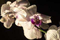 branche d 'orchidée (Doriane Boilly Photographie) Tags: orchidée macro sigma fleurs flowers studio lumière