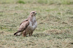 Buzzard (drbut) Tags: buzzard buteobuteo avian farmland countryside birdofprey bird birds wildlife nature