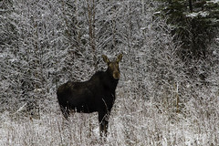 Queen of the Northern Ontario Boreal Forest (NetReacher Image Studios) Tags: moosecow moose canadamoose northernontariomoose porcupineontario ontario ontariocanada