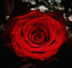 🌹 (valeriaconti136) Tags: rosarossa rosa fiore gocce macroflower drops sfondonero dettaglio samsungs8