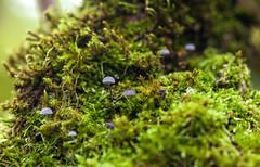 _MG_4288 (Laurent Jégou) Tags: macro champignons
