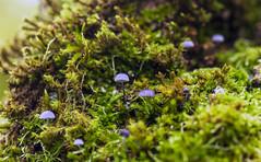 _MG_4286 (Laurent Jégou) Tags: macro champignons
