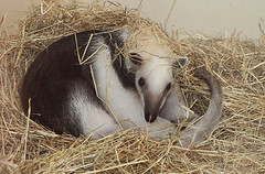 Guillermo likes hay (Schwanzus_Longus) Tags: mammal america animal ant anteater bear cute dortmund funny german germany lesser nocturnal small snout south tamandua tropical wild zoo antbear ameisenbär