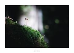 Le majestueux (Darksides photographie 21) Tags: champignon champignons nature proxy proxiphotographie proxi