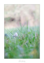 Coprin chevelu (Darksides photographie 21) Tags: champignon champignons nature proxy proxiphotographie proxi