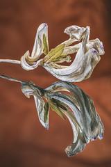 Beauty in decay (Astrid Deschenes) Tags: macromondays driedtulip d7100 nikon macro reflection reflet