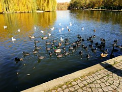 Breakfast with coots, wild duck and seagulls. (Sergiu St. O.) Tags: titanparkandlake coots seagull wildduck bucharest bucuresti romania