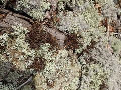 OLYMPUS DIGITAL CAMERA (Pete&NoeWoods) Tags: f19woo01 mcalevysfort huntingdoncountypennsylvania cetrariaarenaria cladonia lichen