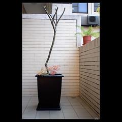_DSC7035 (leeyu_flickr) Tags: 植栽 雞蛋花 緬梔 移植 換盆