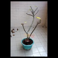 _DSC7031 (leeyu_flickr) Tags: 植栽 雞蛋花 緬梔 移植 換盆