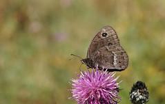 La Grande Coronide (2) (passionpapillon) Tags: macro insecte papillon butterfly bokeh color fleur flower lagrandecoronide passionpapillon 2019 photographers aplaceforagreatphotographers