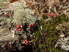 Cladonia spp with moss (Pete&NoeWoods) Tags: mcalevysfort lichen cladonia f19woo02