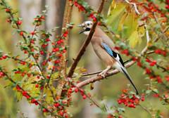 Jay (eric robb niven) Tags: ericrobbniven scotland tentsmuir jay wildlife wildbird nature springwatch dundee