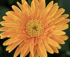 Orange Flower (billcoo) Tags: xf1855mm fuji fujinon garden mcex11 1855mm macro xh1 plant travel fujifilm