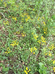 OLYMPUS DIGITAL CAMERA (Pete&NoeWoods) Tags: f19woo12 inglesmithrow shalewoodland shalebarren xericrow bedfordcountypennsylvania packeraobovata roundleavedragwort roundleafragwort plant flower