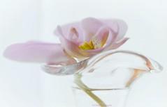 Träume (Fay2603) Tags: aquarell phalaenopsis soft rosée yellow fuji fujifilm fujixt1 glas reflection flower blume blüte blossom