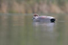 Gadwall (ayres_leigh) Tags: bird nature animal gadwall humberbay ontario canon 90d waterfowl duck