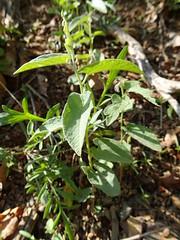 Calystegia spithamea ssp. purshiana (Pete&NoeWoods) Tags: pineycreekwoodland bedfordcountypennsylvania f19woo13 shalebarren shalewoodland calystegiaspithamaeassppurshiana shalebarrenbindweed lowfalsebindweed plant watchlist
