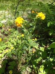 Lithospermum canescens, hoary puccoon (Pete&NoeWoods) Tags: pineycreekwoodland bedfordcountypennsylvania f19woo13 shalebarren shalewoodland lithospermumcanescens hoarypuccoon plant flower tracked