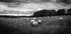 Stainton . (wayman2011) Tags: canon5d colinhart lightroom5 wayman2011 bwlandscapes mono rural sheep pennines dales teesdale stainton countydurham uk
