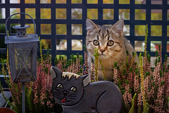 Who is the cutest kitty ? (FocusPocus Photography) Tags: leo katze kater cat kitten tabby heide heather