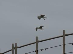 IMG_8743 (jesust793) Tags: gaviotas gulls seagulls milenio pájaros birds