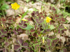 Oxalis corniculata_creeping woodsorrel_Highsaw tract_2 (Pete&NoeWoods) Tags: f19woo14 highsawtract bedfordcountypennsylvania oxaliscorniculata creepingwoodsorrel plant flower