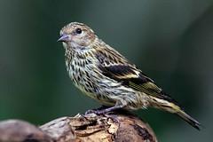 Pine Siskin (in Explore 11/11/2019) (ChasingNature) Tags: bird songbird pinesiskin tree wood perched daylight defusedlight forest nature wildlife britishcolumbiawildlife vancouverisland