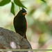 Crested Bunting (Melophus lathami)