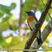 Blue-throated Blue Flycatcher (Cyornis rubeculoides)