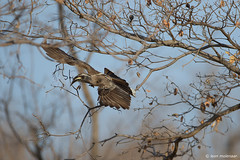 African Grey Hornbill (leendert3) Tags: leonmolenaar southafrica krugernationalpark wildlife wilderness wildanimal nature naturereserve naturalhabitat bird africangreyhornbill sunrays5 coth5